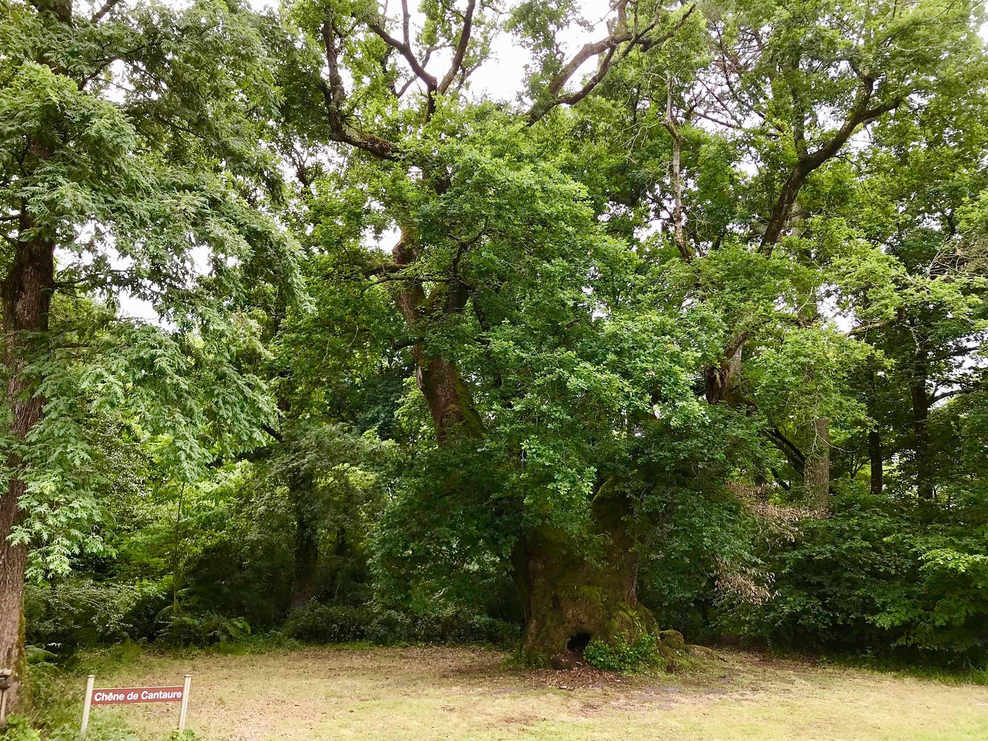 Le Chêne de Cantaure – Lüe